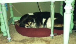 Dottie sleeping under desk