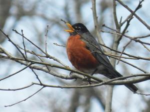 winter robin sing