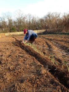Alex planting onions Feb 2015