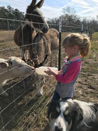 Farm girl bottle feeds Duncan with an audience.